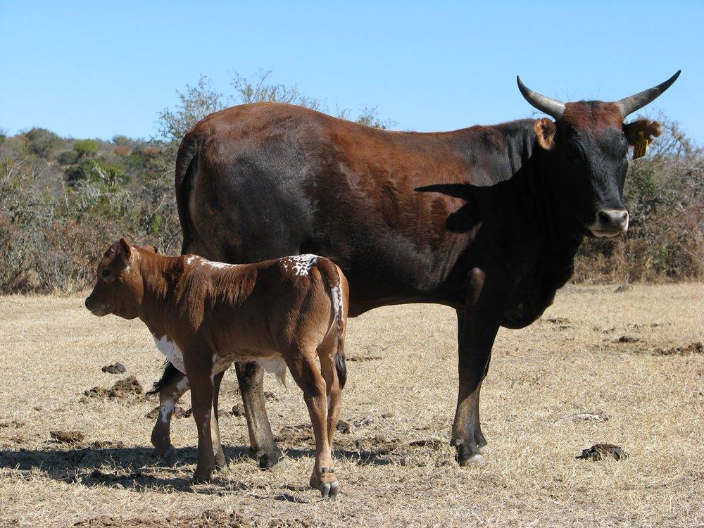 Lot 16 Q 18-119 + Bull Calf